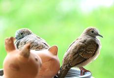 Jeunes et adultes colombes sauvages de zèbre étant perché ensemble sur le planteur photos libres de droits