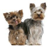 Jeunes et vieux chiens terriers de Yorkshire Image libre de droits