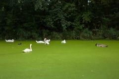 Jeunes et vieux cygnes nageant dans un étang Photos libres de droits