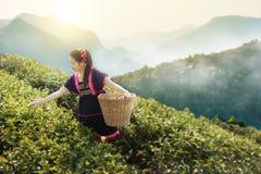 Jeunes femmes asiatiques tribales des feuilles de thé de cueillette de la Thaïlande Photo libre de droits