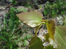 Jeunes feuilles collantes de bouleau Photographie stock