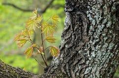 Jeunes feuilles d'érable de Norvège Image libre de droits