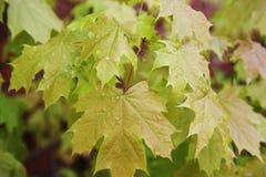 Jeunes feuilles d'érable sur la branche photographie stock libre de droits