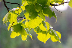 Jeunes feuilles d'aulne Photos stock