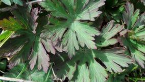 Jeunes feuilles d'une fin de géranium de pré un jour ensoleillé images stock