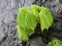 Jeunes feuilles de châtaigne Photo libre de droits