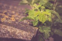 Jeunes feuilles de framboise à l'arrière-plan de nature Image stock