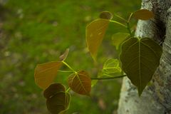Jeunes feuilles de genre sacr? ficus de figuier photo stock