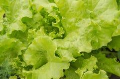 Jeunes feuilles de laitue sur le lit Légumes grandissants dans la terre ouverte Le concept du régime végétarien de nourriture sai photographie stock libre de droits