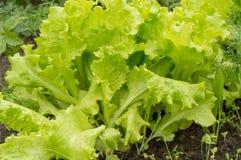 Jeunes feuilles de laitue sur le lit Légumes grandissants dans la terre ouverte Le concept du régime végétarien de nourriture sai photo libre de droits