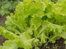 Jeunes feuilles de laitue sur le lit Légumes grandissants dans la terre ouverte Le concept du régime végétarien de nourriture sai photographie stock