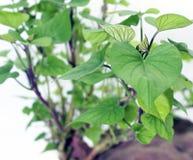 Jeunes feuilles de patate douce Image stock