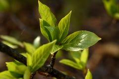 Jeunes feuilles de peuplier images stock