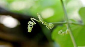 Jeunes feuilles de potiron photos stock
