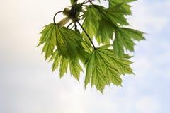 Jeunes feuilles de ressort de l'arbre Image stock