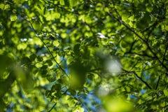 Jeunes feuilles de tremble sous la lumière du soleil images stock