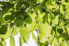 Jeunes feuilles de vert Photographie stock libre de droits