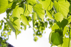 Jeunes feuilles de vert Image libre de droits