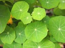 Jeunes feuilles de vert Images stock
