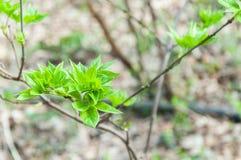 Jeunes feuilles de vert s'élevant pendant le printemps Photographie stock