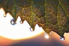 Jeunes feuilles des raisins avec des baisses de rosée Lever de soleil brouillage photographie stock libre de droits