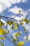 Jeunes feuilles et fleurs des érables photo stock
