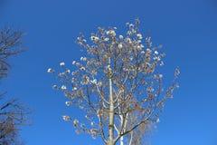 Jeunes feuilles et Japonais blanc de floraison fleurissant Sakura photographie stock