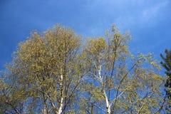 Jeunes feuilles fleurissantes et color?es au printemps Naturel pur photos stock