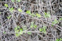 Jeunes feuilles fraîches dans le macro Branches minces de vigne dans une couche continue photos stock
