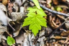 Jeunes feuilles fraîches et vertes d'arbre fleurissant au printemps temps dedans Photographie stock libre de droits