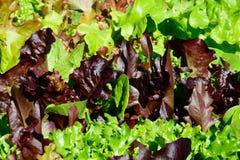 Jeunes feuilles grandissantes de laitue photo stock