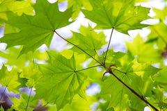 Jeunes feuilles lumineuses fraîches vertes d'érable sous les rayons du soleil photographie stock