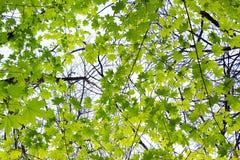 Jeunes feuilles lumineuses fra?ches vertes d'?rable sous les rayons du soleil image stock
