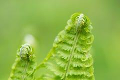 Jeunes feuilles tordues vertes de fougère Photographie stock libre de droits