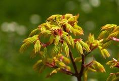 Jeunes feuilles vert jaunâtre d'arbre d'érable japonais Image stock