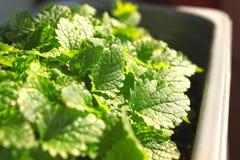 Jeunes feuilles vertes de baume de citron dans un pot sur le rebord de fenêtre à la maison photographie stock libre de droits
