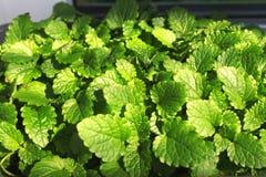 Jeunes feuilles vertes de baume de citron dans un pot sur le rebord de fen?tre ? la maison photos stock