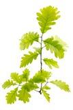 Jeunes feuilles vertes de chêne Image stock
