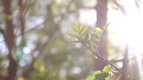 Jeunes feuilles vertes ensoleillées de ressort de l'arbre de bouleau, fond saisonnier d'eco naturel avec l'espace de copie banque de vidéos