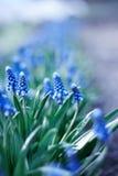 Jeunes fleurs bleues de source Image libre de droits