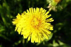 Jeunes fleurs sur le champ au printemps Photo stock