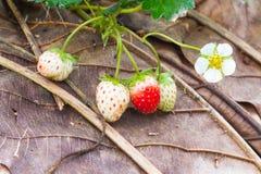 Jeunes fruits et plantes de fraise Images stock