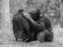 Jeunes gorilles de Silverback photographie stock libre de droits