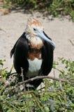 Jeunes grands de frigatebird, Galapagos Photo stock