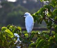 Jeunes grands hérons (Ardea alba) dans le nid Photo libre de droits