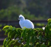 Jeunes grands hérons (Ardea alba) dans le nid Image libre de droits