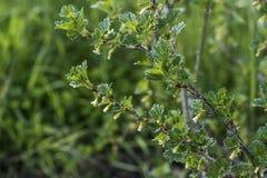 Jeunes groseilles à maquereau croissantes non mûres fraîches sur la branche du buisson de groseille à maquereau dans l'élevage or Image libre de droits