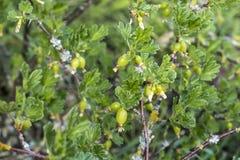 Jeunes groseilles à maquereau croissantes non mûres fraîches sur la branche du buisson de groseille à maquereau dans l'élevage or Photos libres de droits