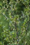 Jeunes groseilles à maquereau croissantes non mûres fraîches sur la branche du buisson de groseille à maquereau dans l'élevage or Photo stock