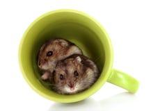 Jeunes hamsters dans la cuvette verte d'isolement Images stock